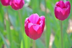 Close-up de tulipas amarelas e vermelhas contra o fundo verde em um dia de mola ensolarado, baixa profundidade de campo imagem de stock royalty free