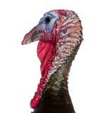 Close-up de Turquia selvagem, gallopavo do Meleagris Foto de Stock