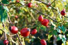 Close-up de um arbusto cor-de-rosa ou de uma árvore com frutos do rosehip e as folhas verdes sob o outono ensolarado foto de stock