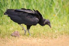 Close up de um atratus americano do Coragyps do abutre preto que anda e Foto de Stock