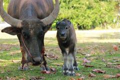 Close up de um búfalo do bebê tailândia imagens de stock royalty free