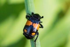 Close up de um besouro colorido em preto e em alaranjado Foto de Stock Royalty Free