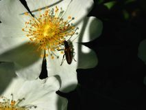Close-up de um besouro marrom em uma flor Fotografia de Stock