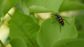 Close-up de um besouro preto e alaranjado em uma folha verde no garder filme