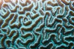 Close-up de um Boulder Brain Coral (natans de Colpophyllia) subaquático para a textura ou o fundo imagens de stock royalty free