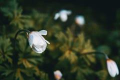 Close-up de um branco e de uma flor isolada do nemorosa da anêmona fotos de stock