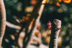 Close-up de um broto vermelho do arboreum do aeonium fotografia de stock royalty free