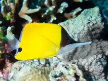 Close-up de um butterflyfish fotografia de stock royalty free