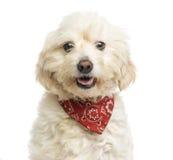 Close-up de um cão do híbrido que veste um bandana vermelho, arfando fotos de stock royalty free