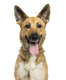 Close-up de um cão-pastor belga que arfa, olhando a câmera Imagens de Stock Royalty Free