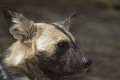 Close-up de um cão selvagem africano Fotos de Stock