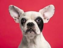 Close-up de um cachorrinho do buldogue francês (6 meses velho) Fotos de Stock Royalty Free