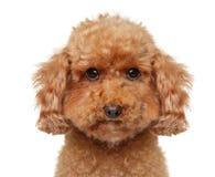 Close-up de um cachorrinho de Toy Poodle no fundo branco imagem de stock