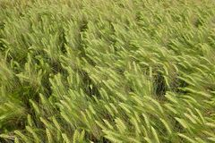 Close-up de um campo do centeio na mola Fotografia de Stock Royalty Free
