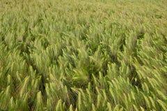 Close-up de um campo do centeio na mola Fotos de Stock