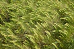 Close-up de um campo do centeio na mola Imagens de Stock