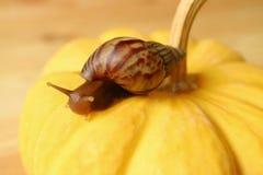 Close-up de um caracol marrom do shell da listra que escala na abóbora amarela brilhante Imagem de Stock