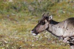 Close-up de um caribu novo da estéril-terra com a tundra verde no fundo em agosto Fotos de Stock Royalty Free