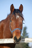 Close-up de um cavalo de baía na cerca do inverno Fotos de Stock Royalty Free
