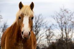 Close up de um cavalo marrom dourado no pasto com árvores fotografia de stock