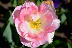 Close-up de um claro - tulipa cor-de-rosa contra o fundo escuro em um dia de mola ensolarado, baixa profundidade de campo imagens de stock royalty free