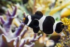 Close up de um clownfish que esteja nadando na água, um peixe tropical do saddleback do Oceano Pacífico do indo fotos de stock