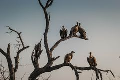 Close up de um comitê ou um local de encontro dos abutres em ramos de árvore secados em Hoedspruit, África do Sul imagem de stock