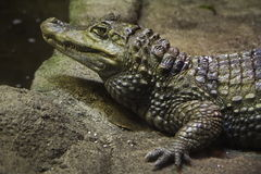 Close-up de um crocodilo Imagem de Stock Royalty Free