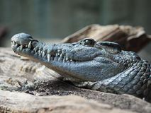 Close-up de um crocodilo foto de stock royalty free