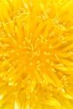 Close-up de um dente-de-leão Imagem de Stock