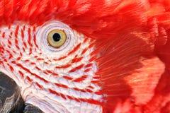 Close up de um escarlate do Macaw Imagem de Stock