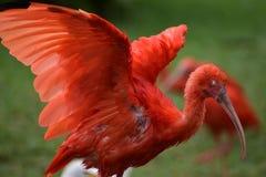 Close up de um escarlate vermelho colorido dos íbis com as asas espalhadas em África do Sul Foto de Stock Royalty Free