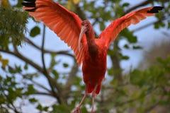 Close up de um escarlate vermelho colorido dos íbis com as asas espalhadas em África do Sul Imagens de Stock