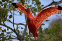 Close up de um escarlate vermelho colorido dos íbis com as asas espalhadas em África do Sul Imagens de Stock Royalty Free