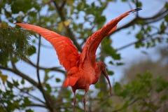 Close up de um escarlate vermelho colorido dos íbis com as asas espalhadas em África do Sul Fotografia de Stock