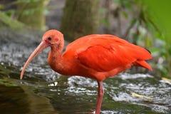 Close up de um escarlate vermelho colorido dos íbis em África do Sul Imagens de Stock Royalty Free