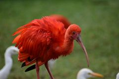Close up de um escarlate vermelho colorido dos íbis em África do Sul Foto de Stock