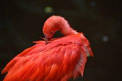 Close up de um escarlate vermelho colorido dos íbis em África do Sul Imagens de Stock