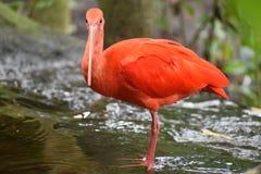 Close up de um escarlate vermelho colorido dos íbis em África do Sul Fotografia de Stock Royalty Free
