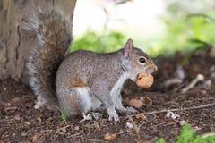 Close-up de um esquilo cinzento ao comer uma porca Fotografia de Stock