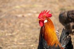 Close-up de um galo colorido em uma exploração agrícola de galinha imagens de stock