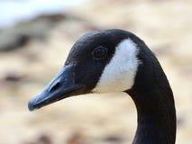 Close up de um ganso canadense Imagens de Stock Royalty Free