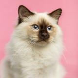 Close-up de um gatinho de Birman, 5 meses velho Fotos de Stock Royalty Free