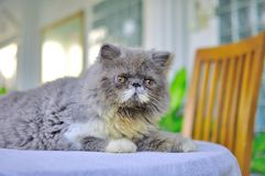 Close-up de um gatinho persa Fotos de Stock