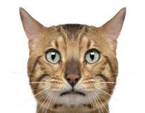 Close-up de um gato de Bengal, 3 anos velho Imagem de Stock