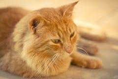Close up de um gato de gato malhado do gengibre Imagem de Stock