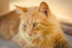 Close up de um gato de gato malhado do gengibre Imagens de Stock Royalty Free