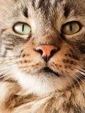 Close-up de um gato de gato malhado de cabelos compridos fotografia de stock