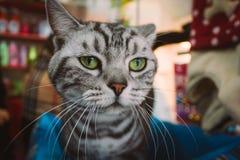 Close-up de um gato preto e branco bonito e irritado das cores em uma loja de animais de estimação que olha a câmera fotografia de stock royalty free