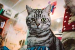 Close-up de um gato preto e branco bonito e irritado das cores em uma loja de animais de estimação que olha a câmera imagens de stock royalty free